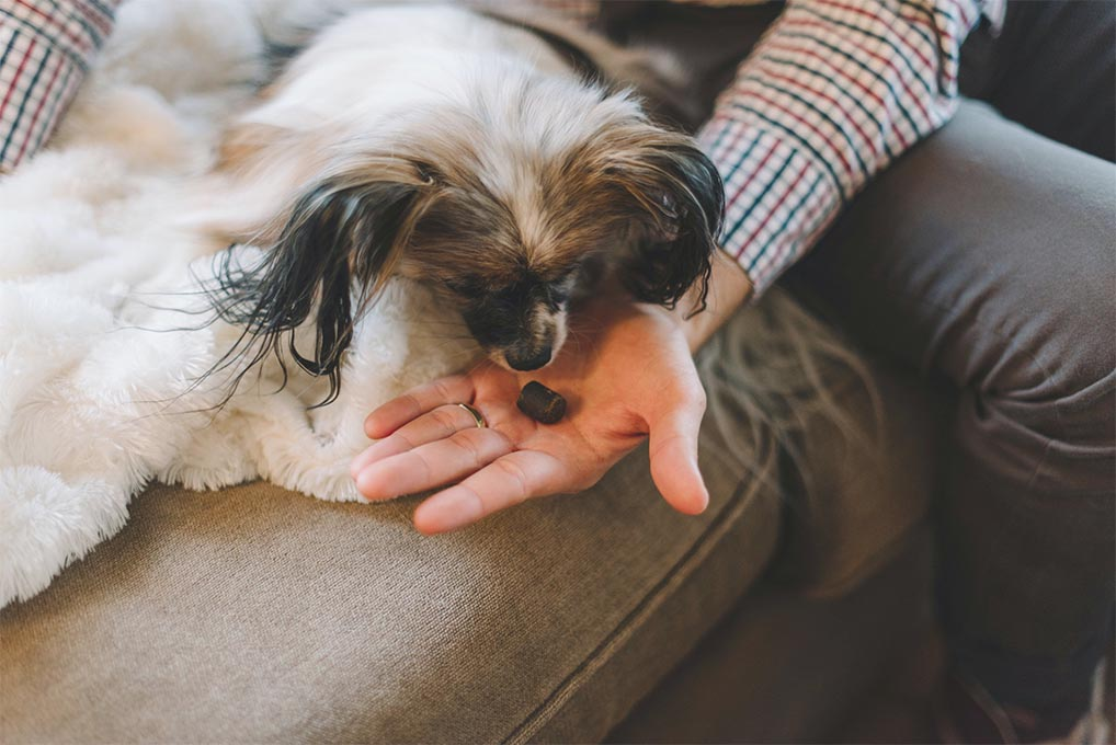 benefits of cbd - dog eating cbd treat